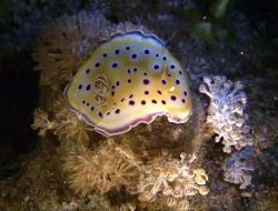 Nudibranch taken on a night dive in the southern red sea by Ian Palmer 